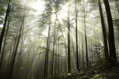 Free Autumnal Deciduous Forest In The Sunshine Foggy Weather Branches Of Beech Trees Backlit By Morning Sun Dense Fog And Sunlight Stock Photos - 139486593