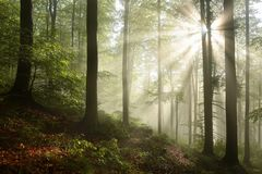 Misty autumn beech forest in the sunshine. Autumnal deciduous forest in the sunshine in foggy weather. Branches of beech trees backlit by the morning sun. Dense stock images
