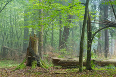 Autumnal deciduous stand with dead tree stump Stock Image