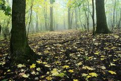 Autumnal deciduous temperate forest Royalty Free Stock Photography