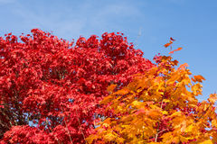 Autumnal deciduous trees in intense colors Royalty Free Stock Image