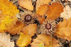 Autumnal Details - Fallen Oak Tree Branch With Acorns Royalty Free Stock Photography