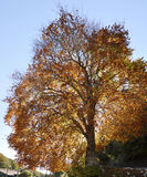 Autumnal dress of the tree Stock Photography
