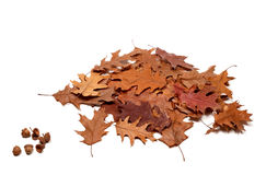 Autumnal dried leafs of oak and acorns Stock Photos