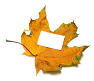 Autumnal dried maple-leaf with white empty price card Stock Images