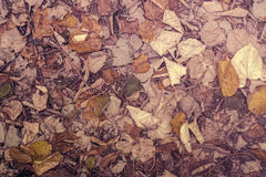 Autumnal fallen beech leaves on ground Royalty Free Stock Image