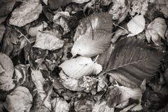Autumnal fallen leaves, monochrome photo Royalty Free Stock Photo