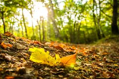 Autumnal falling leaf in the forest. This foto shows some autumnal Leaves, just fallen, in the forest, during the autumnal time Stock Photo