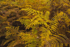 Autumnal ferns Stock Images