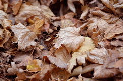 Autumnal floor of the fallen leaves Royalty Free Stock Photography