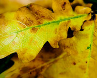 Autumnal Foliage Royalty Free Stock Photos