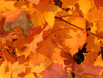 Autumnal foliage of acer Stock Photography