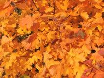 Autumnal foliage of maple Stock Photo