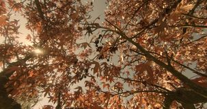 Autumnal foliage maple tree stock video footage