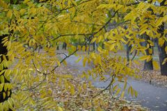 Autumnal foliage of Styphnolobium japonicum in November. Autumnal foliage of Styphnolobium japonicum tree in November Stock Photography