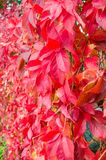 Autumnal foliage of Virginia Creeper Parthenocissus quinquefolia.  Royalty Free Stock Images