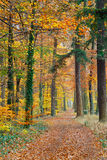Autumnal forest. Pathway in the autumn forest Royalty Free Stock Photo