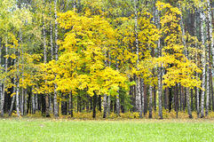 Autumnal forest. Autumn forest and tree with yellow leaves Royalty Free Stock Image