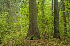 Autumnal forest. Two old spruces in autumnal forst Royalty Free Stock Photo