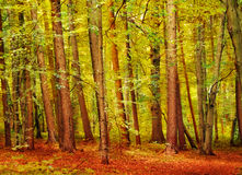 Autumnal Forest. Beautiful autumnal forest with bright colored foliage on the ground stock image