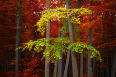 Autumnal forest Royalty Free Stock Image