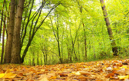 Autumnal forest. Royalty Free Stock Images