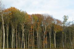 Autumnal forest with bare trunks Stock Photography