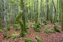 Autumnal forest. With bended trees and moss Stock Photo