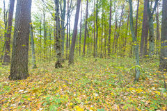 Autumnal forest Royalty Free Stock Photos