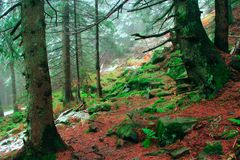 Autumnal forest with fir-trees stones and moss. Autumnal forest with fir-trees and stones covered by moss Royalty Free Stock Photography