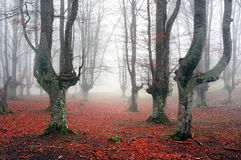 Autumnal forest with fog Royalty Free Stock Photography