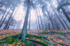 Autumnal forest landscape. Beautiful autumnal landscape of foggy forest with fallen leaves and old tree trunks. Late autumn in polish forests. Tranquil colorful Royalty Free Stock Photography