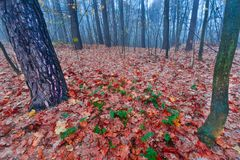 Autumnal forest landscape. Beautiful autumnal landscape of foggy forest with fallen leaves and old tree trunks. Late autumn in polish forests. Tranquil colorful Royalty Free Stock Photo