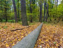 Autumnal forest landscape. Beautiful autumnal landscape of foggy forest with fallen leaves and old tree trunks. Late autumn in polish forests. Tranquil colorful Stock Images