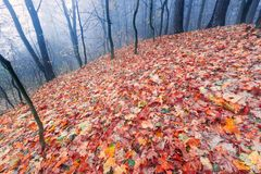 Autumnal forest landscape. Beautiful autumnal landscape of foggy forest with fallen leaves and old tree trunks. Late autumn in polish forests. Tranquil colorful Royalty Free Stock Photos