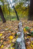 Autumnal forest landscape Royalty Free Stock Images