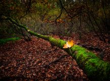 Autumnal forest landscape. Beautiful autumnal landscape of foggy forest with fallen leaves and old tree trunks. Late autumn in polish forests. Tranquil colorful Stock Photos