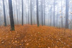 Autumnal forest landscape. Beautiful autumnal landscape of foggy forest with fallen leaves and old tree trunks. Late autumn in polish forests. Tranquil colorful Stock Image