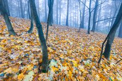Autumnal forest landscape. Beautiful autumnal landscape of foggy forest with fallen leaves and old tree trunks. Late autumn in polish forests. Tranquil colorful Royalty Free Stock Image