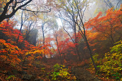 Autumnal forest in mist Royalty Free Stock Photo