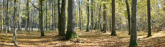 Autumnal forest panorama. With dry leaves on ground Royalty Free Stock Photos