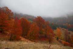 Autumnal forest with red trees and mystic fog Stock Photography