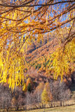 Autumnal Forest shows its colour in the Alps Stock Image