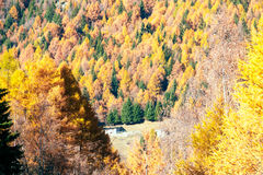 Autumnal Forest shows its colour Royalty Free Stock Photography