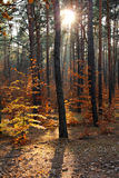 Autumnal forest and sun rays Royalty Free Stock Image