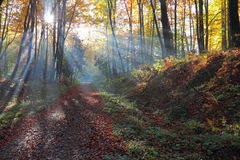 Autumnal forest and sun rays with mist. Stock Photo