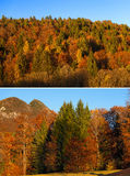 Autumnal Forest at Sunset - Trentino Italy Royalty Free Stock Image