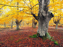 Autumnal forest with vivid colors Royalty Free Stock Photography