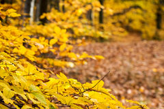 Autumnal forest with yellow leaves and blurred background Royalty Free Stock Photography