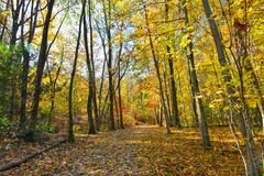 Autumnal forest with yellow leaves Royalty Free Stock Images